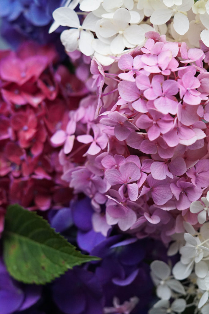 Pink, purle, magenta and white hydrangea